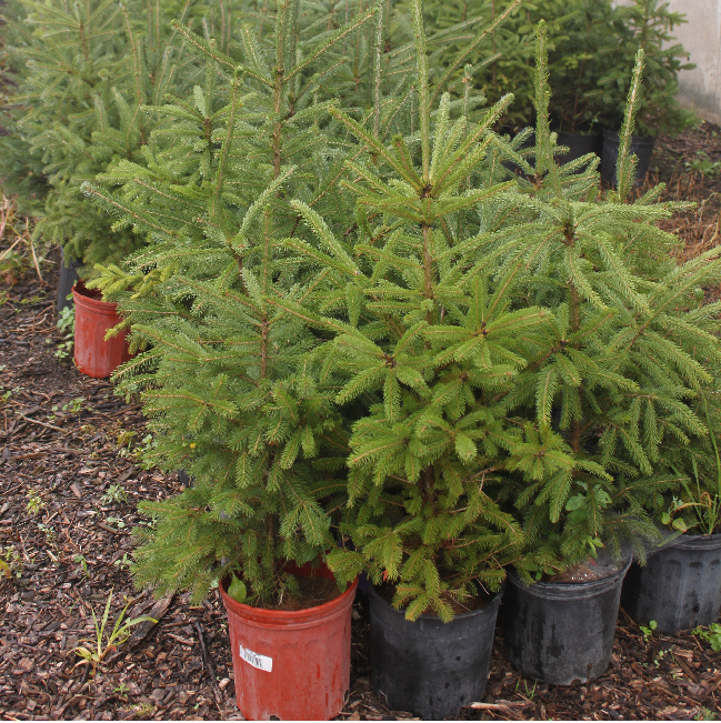white spruce trees for shelter my sister's place $15 each